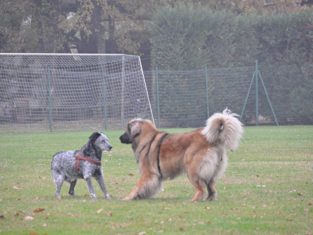 Lucky Leonberger ricalco.111