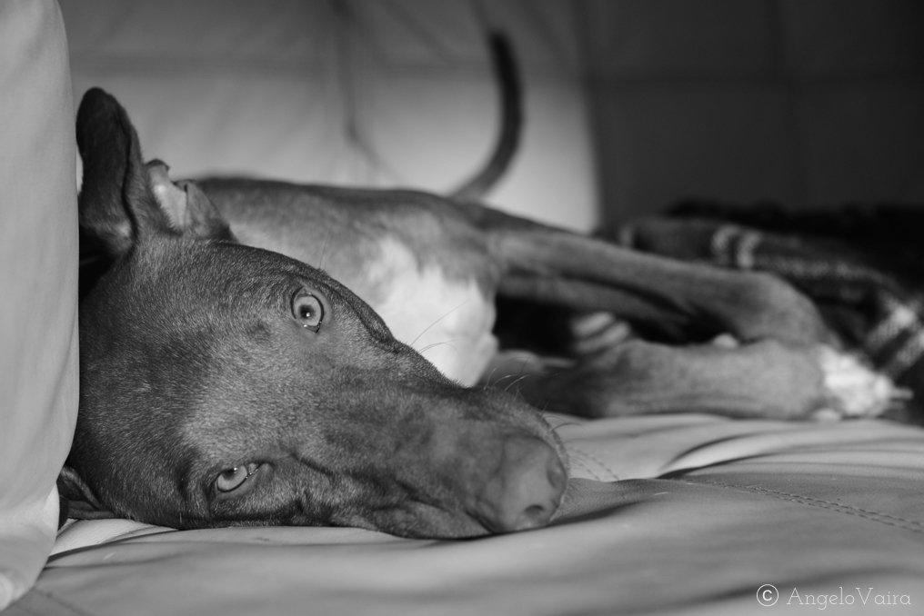 Cane sul divano