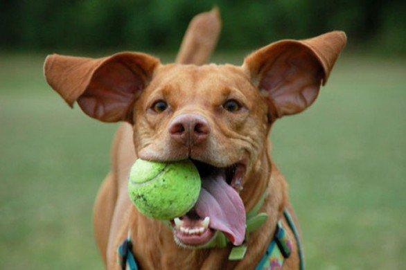 cane pallina tennis