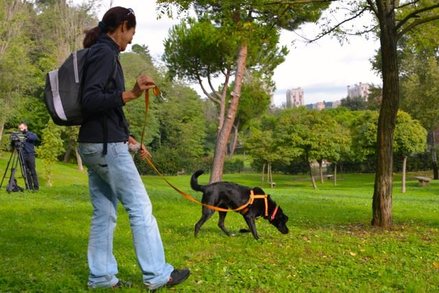 Guinzaglio lungo e pettorina? Facilitano la comunicazione fra cani.