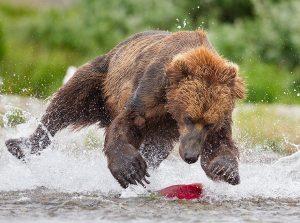 TinManLee_bearsalmon_wildlife