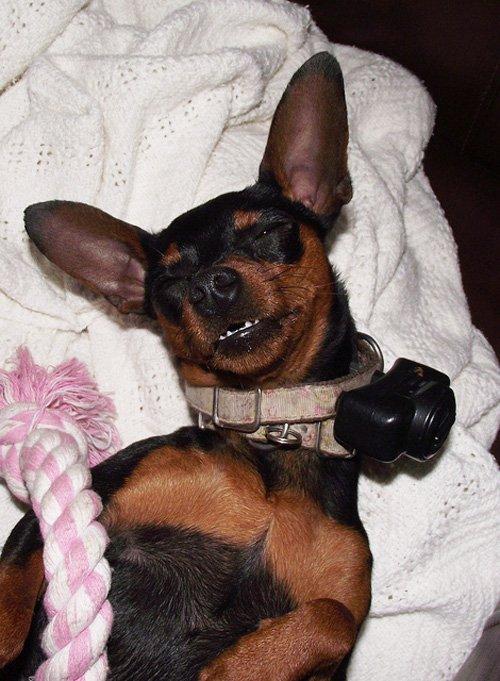 collare elettrico su cane