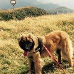 Leonberger pettorina